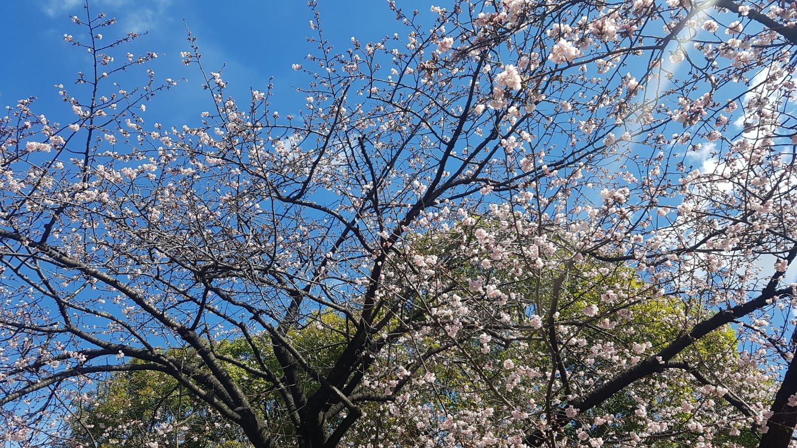 Kirschblüten in Tokio