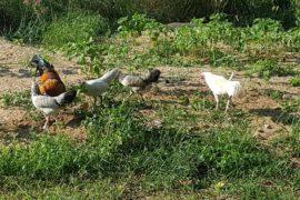 Hühner auf Pulau Tioman